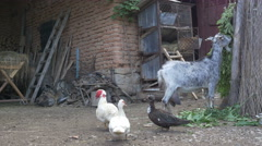 Poultry and Goat in Yard Stock Footage