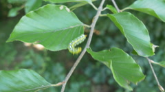 Caterpillar on Leaf Stock Footage
