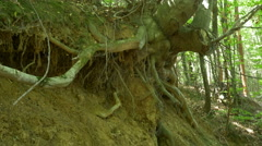 Uprooted Tree in Woods Stock Footage
