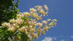 Chestnut Tree Chromakey Blooming Chestnut Swaying Branches Chroma Key Alfa Blue - stock footage