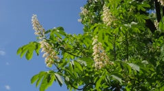 Stock Video Footage of Chestnut Tree Chromakey Blooming Chestnut Swaying Branches Chroma Key Alfa Blue