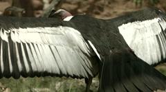 California Condor Spreading Wings 2 Stock Footage