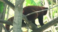ULTRA HD 4K real time shot,Red panda Stock Footage