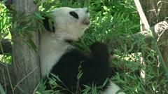 ULTRA HD 4K real time shot,Giant panda bear eating bamboo Stock Footage