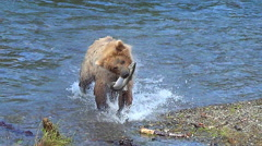 Bear Brings Fish to Shore & Nervously Eats It While Looking for Larger Bears Stock Footage