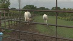 White ponies walk away. Stock Footage