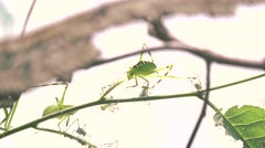 Stock Video Footage of ULTRA HD 4K, real time, zooming; Mimetic insects hide on the leaf