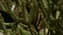 California Condor Spreading Wings Stock Footage