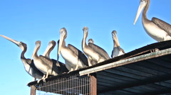 Pelicans on a Roof Stock Footage