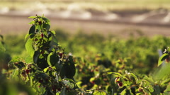 Medium shot of raspberry bushes in outdoor field Stock Footage