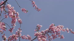 Cherry Sakura Chromakey Blossom Pink Flowers The Branches of Cherry Blossom - stock footage