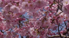 Cherry Sakura Close Up Chromakey Blossom Pink Flowers The Branches of Cherry - stock footage