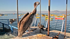 Pelican in Coquimbo, Chile Stock Footage
