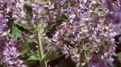 Close-up of bee and light purple flowers. Stock Footage