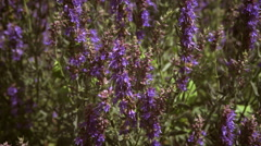 Slow panning shot of lupins Stock Footage