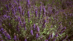 Tilting shot of field of violet lupins Stock Footage
