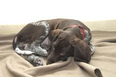 German Shorthaired Pointer puppy Stock Photos
