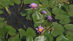 Lotus water flowers at Ho Chi Minh City in Vietnam Stock Footage