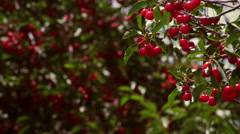 Racking focus of cherries in cherry trees Stock Footage
