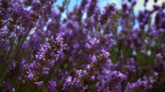 Close-up racking shot of lavender flowers and a bee Stock Footage
