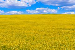Field of flowering oilseed rape - stock photo