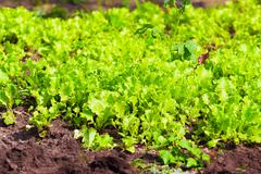 Growing lettuce in open ground - stock photo
