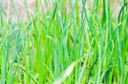 Stock Photo of juicy onion chives in the garden