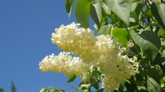 White Blossoming Lilac For Chromakey Branches Blooming Lilac Chroma Key Alfa - stock footage