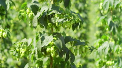 Rows of hops ready for harvest Stock Footage