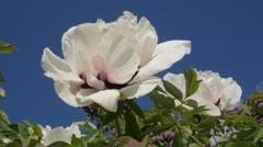 Peony Paeonia For Chromakey Chroma Key Alfa Blue Background Flowering Kiev - stock footage
