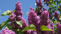 Branches Chromakey Blossoming Lilac For Chroma Key Alfa Blue Background - stock footage