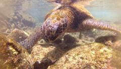Green Sea Turtle Close Up Underwater Eating Algae Rocks Ecosystem Ocean Happy Stock Footage