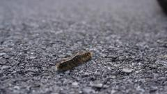 A tent caterpillar crawls diagonally through frame: shallow DOF Stock Footage