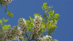 Inflorescences Of Acacia Senegalia Greggii Thorntree Whistling Thorn Wattle - stock footage