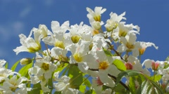 Stock Video Footage of Inflorescences Of Acacia Senegalia Greggii Thorntree Whistling Thorn Wattle