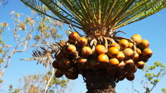 Fruiting cycad Stock Footage