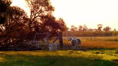 Ewe and Lambs Walking Through A Gateway In A Field Stock Footage
