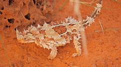 spiky thorny dragon lizard - stock footage