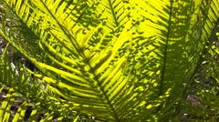 Cycad foliage close up Stock Footage
