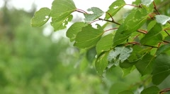 Water Drops On Fresh Green Leaves Slow Motion - stock footage
