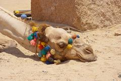 Portrait of a tired dromedary camel sleeping lying on the ground Stock Photos