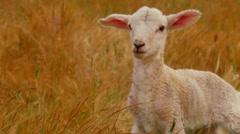 Close Up Of A Cute Newborn Lamb In Dry Grassy Field Stock Footage