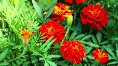 Orange Marigolds Stock Footage
