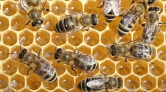 Bees convert nectar into honey - stock footage