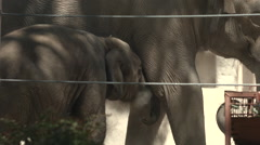 Asian Elephant Nursing Stock Footage