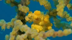Yellow Pygmy seahorse Stock Footage