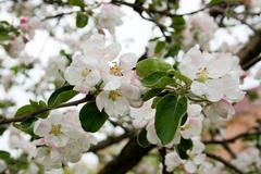 Apple tree in bloom in spring - stock photo