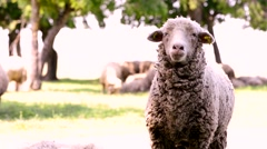 Close up of sheep Head Chewing, Sheep on Meadow, Field, Farming Stock Footage