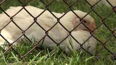 4K Closeup organic chicken rest sleep eye closed green grass poultry pasture day Stock Footage
