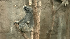 Koala Sitting in a Tree Looking Around Stock Footage